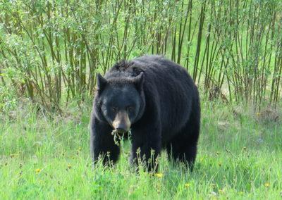Schwarzbär am weiden