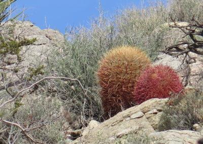 Barrel Cactus_kompr