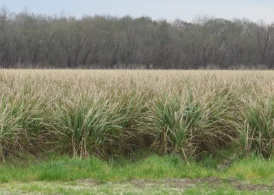 Zuckerrohr soweit das Auge reicht