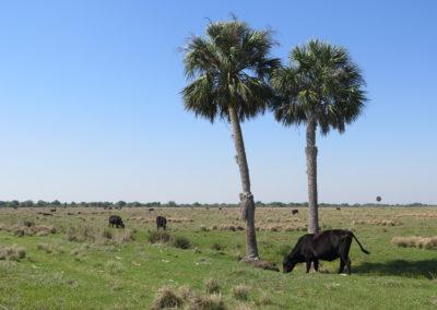 Kuh unter Palme