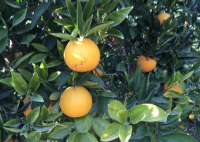 Orangen in Sagunto